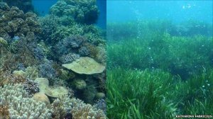 Coral Reefs and Nearby Grasses by Volcanic Vents