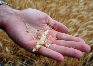 Drought Damaged Wheat Crops - Texas - 2011